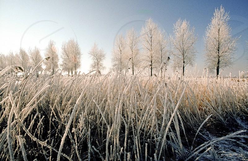 The Netherlands Breukelen the river Vecht winter frozen reeds iced trees photo