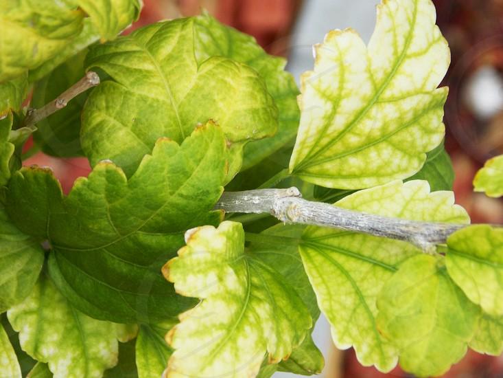green mint leaves photo