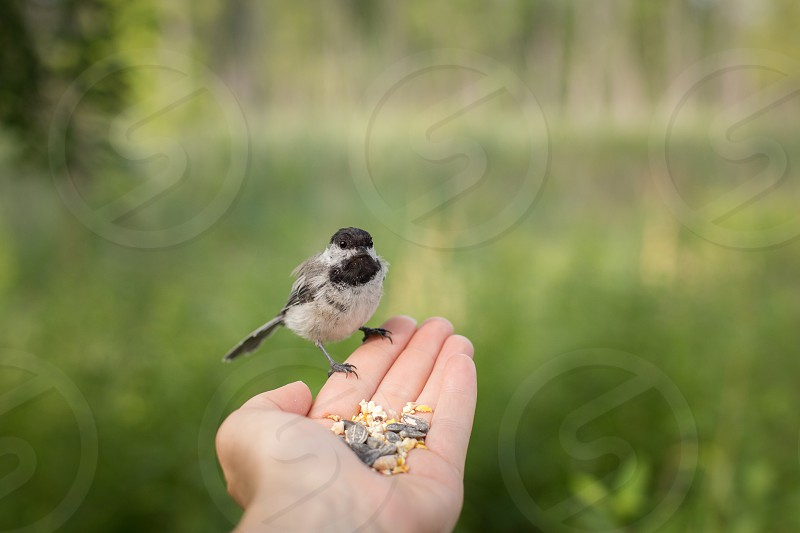 A black capped chickadee taking bird seed from a woman's hand photo