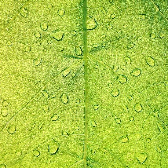 water droplets on a grape leaf photo