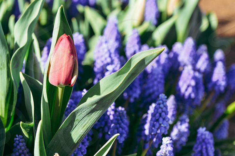 Red tulip purple grape hyacinth flowers spring perennial photo