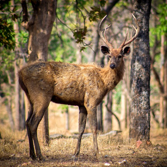 A sambhar deer amidst the forest . deer jungle camping forest photo