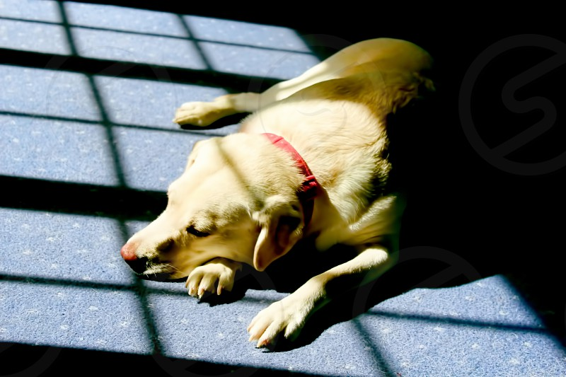 dog lab labrador tired sleeping lie laying sunshine relaxing window light warm cosy comfort chilled peace calm pet content animal happy rest warming sunbathe sunlight  photo