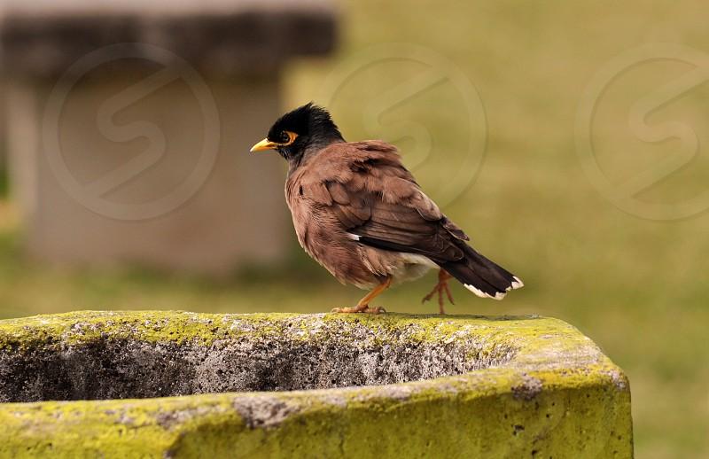 Myna tahiti bird small bird pet pest  photo