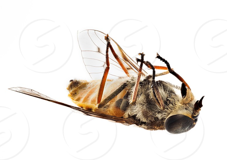 Highly detailed focus stacked macro photo of a fly or small bee lying dead on its back. Use for concepts of dead project or product photo