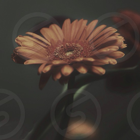 brown daisy photo