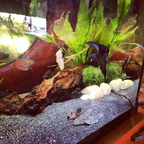 Fish angelfish angel cory wood fish tank stones sand plants dwarf gourami water photo