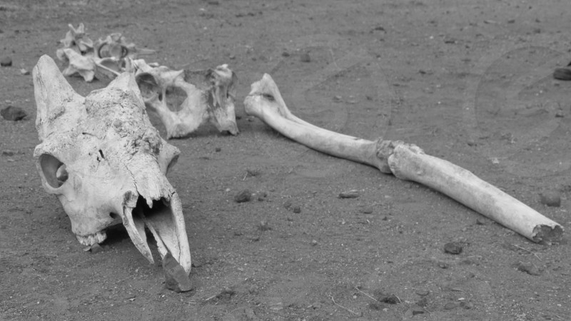 B&W Skull and bones photo
