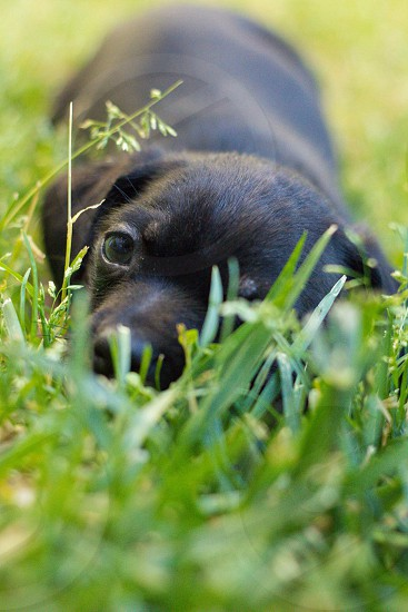 black lab puppy laying in grass photo