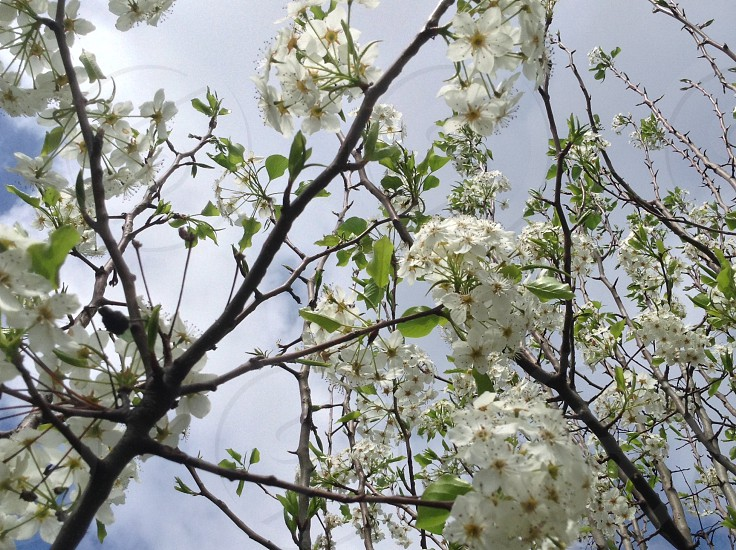 Spring flowers clubs Sky tree White green photo