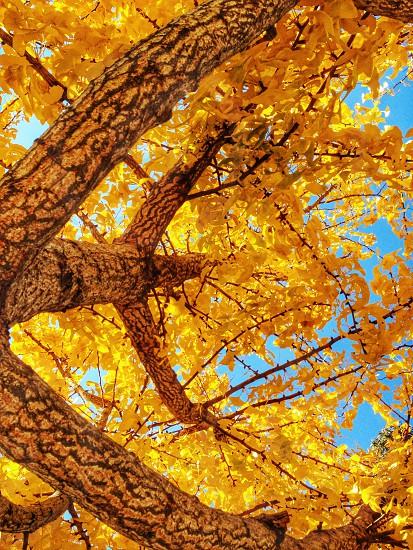 yellow leaves tree photo