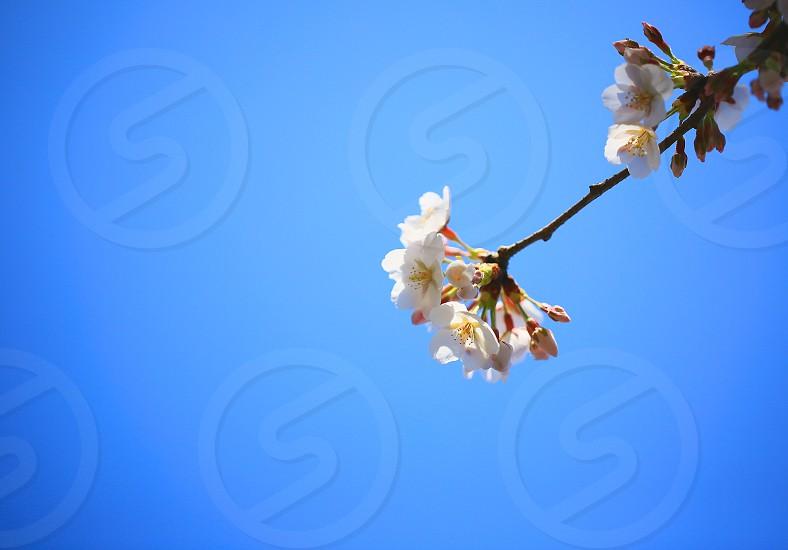 PHOTO CHALLENGE 'Minimalism' (13) Japanese Sakura Blue photo