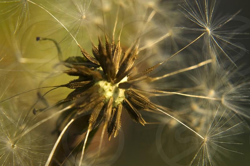 Deep inside of Dandelion flower (Taraxacum officinale). photo