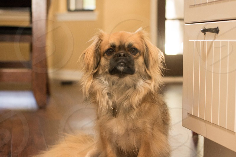 Tibetan Spaniel dog pets pet fluffy dog brown dog smushed face guilty photo