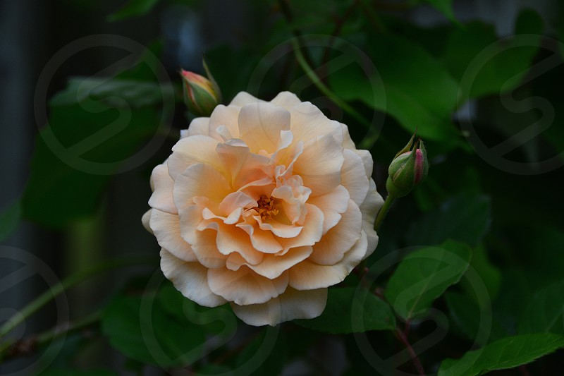 Peach Rose photo