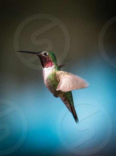Hummingbirds in Twin Lakes Colorado photo