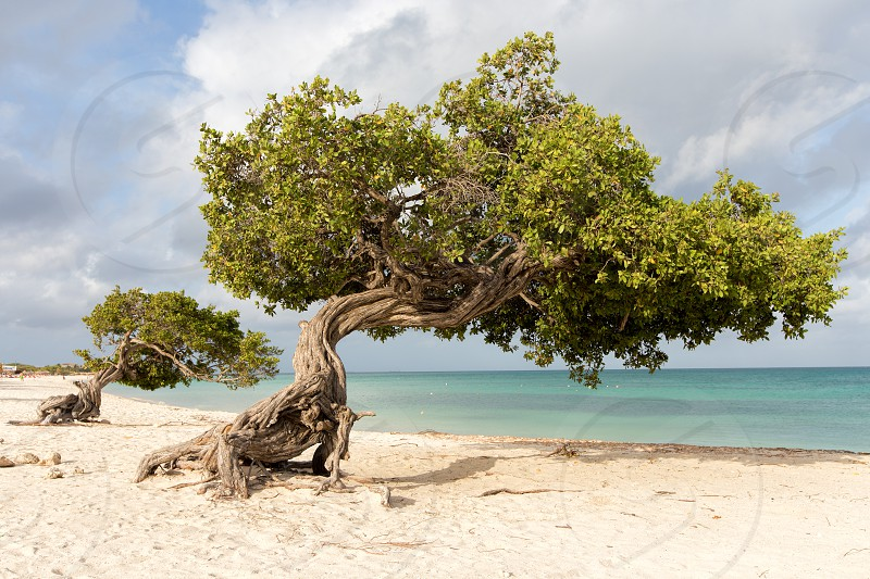 The famous divi-divi or Watapana trees on Eagle Beach Aruba photo