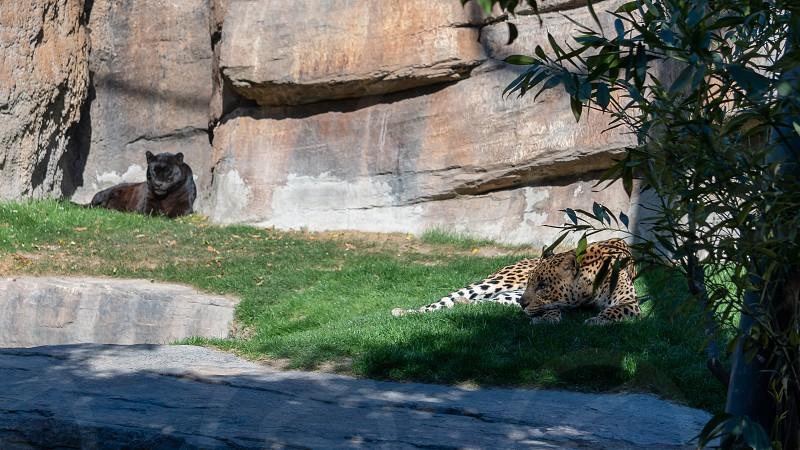 VALENCIA SPAIN - FEBRUARY 26 : Black and common Leopards at the Bioparc in Valencia Spain on February 26 2019 photo