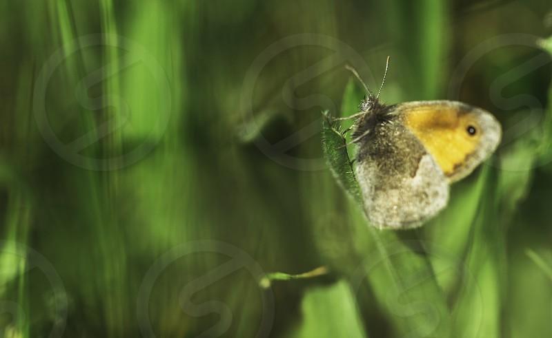 Beauty Maniola jurtina butterfly on green leaf green background in herb garden photo