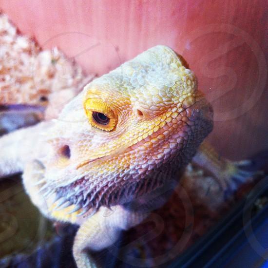 Pets lizard bearded dragon reptile photo