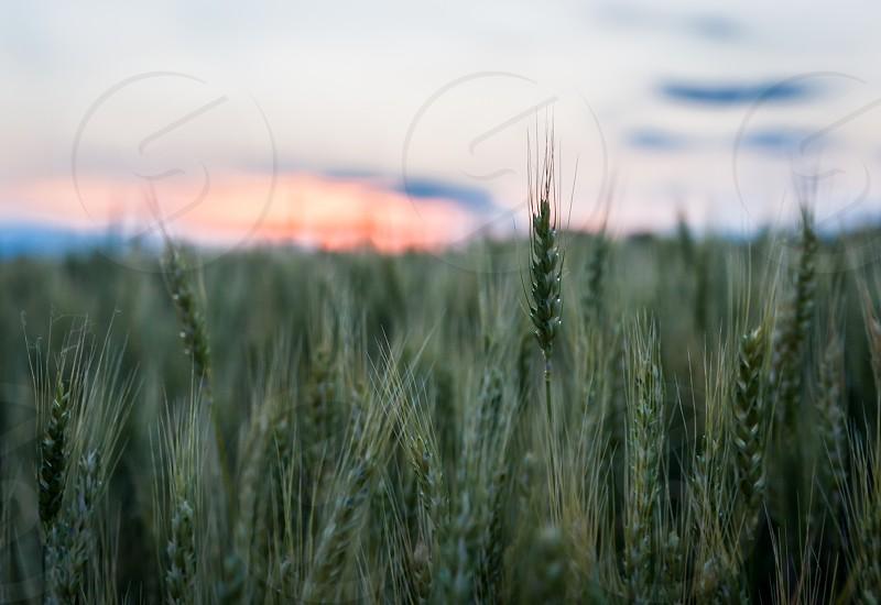 Kansas Wheat field at sunset photo