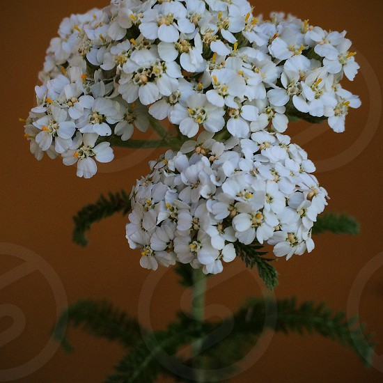 Yarrow flower photo