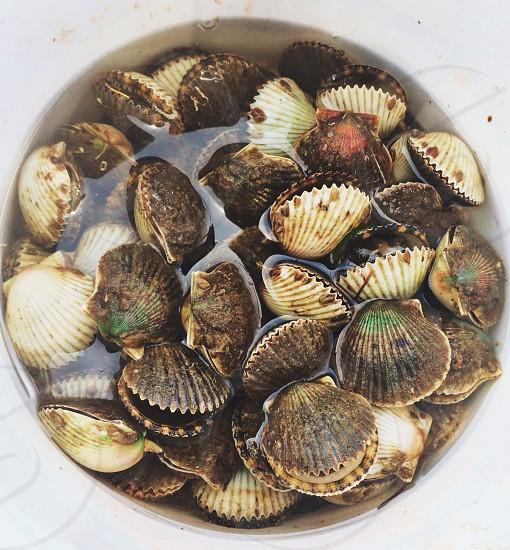 Scallops harvested in Steinhatchee Fl photo