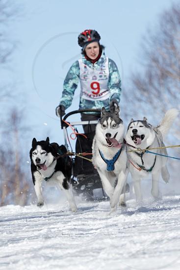 PETROPAVLOVSK-KAMCHATSKY KAMCHATKA PENINSULA RUSSIA - FEBRUARY 23 2017: Runs dog sled young Kamchatka musher Grishina Elizabeth. Kamchatka Kids Competitions Sled Dog Race Dyulin (Beringia). photo