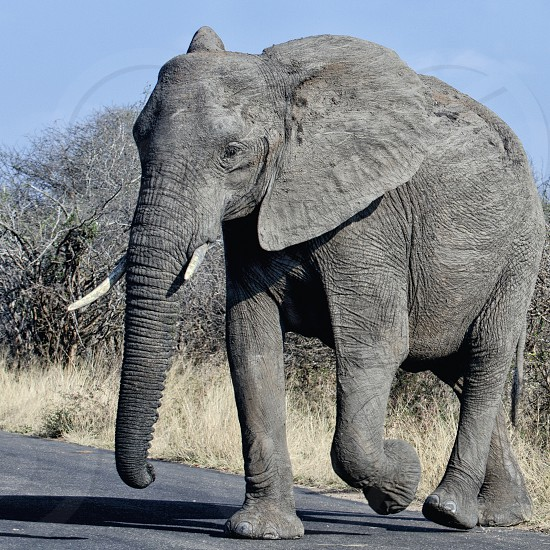 Large elephant crossing the road photo