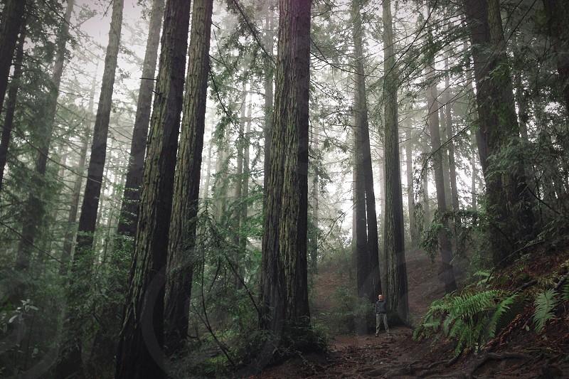 Walks through redwoods.  photo