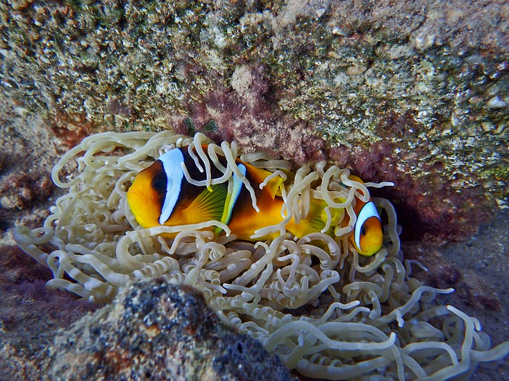 two clown fish on white anemone photo