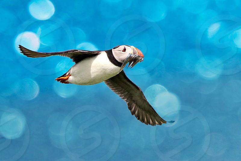 Atlanticpuffinbirdflightnaturebokeh photo