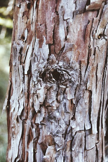 birch tree bark photo