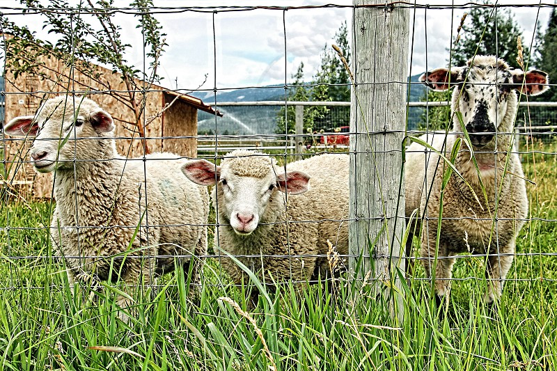 Three sheep look out of a pen into a grassy field photo