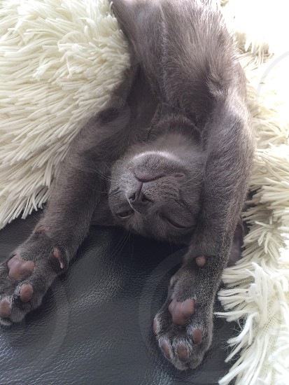 #russianblue #cat #sleepy #lazy photo
