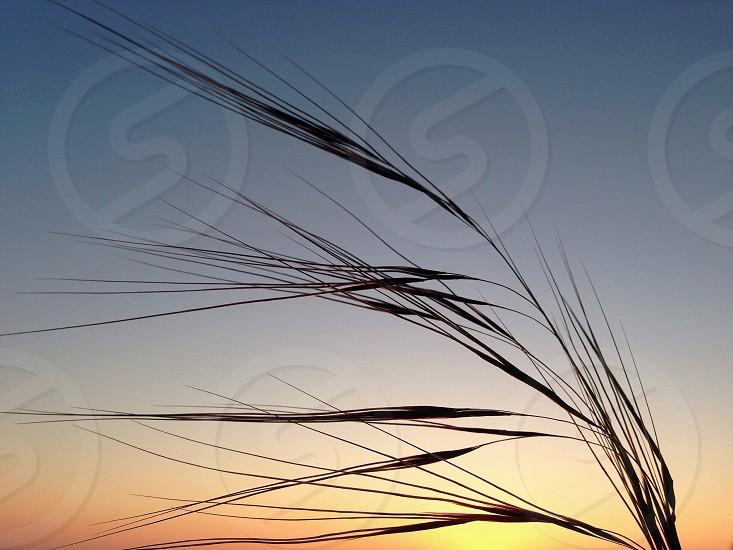 wheat photograph photo