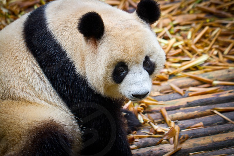 Panda China photo