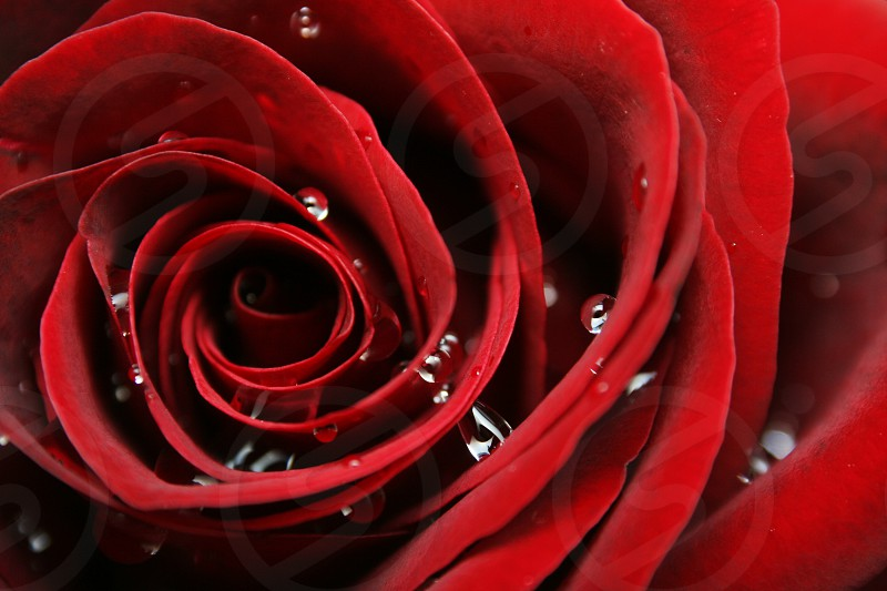 Red rose close-up with water drops photo