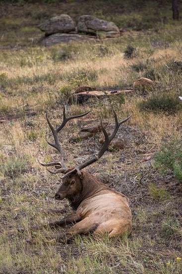 A bull elk in the Rocky Mountain Nationalpark in Colorado photo