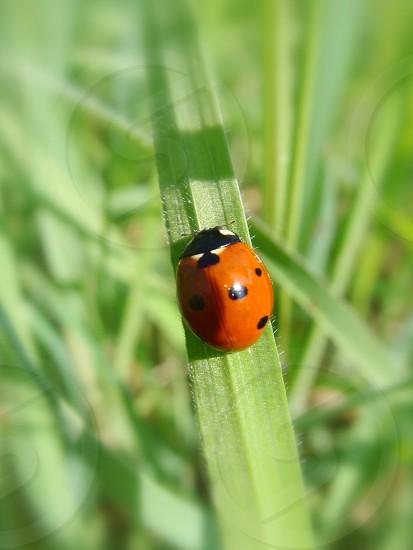 orange lady bug photo