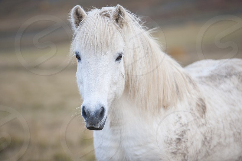 White Icelandic horse standing in field photo