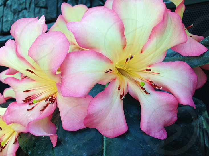 Pink yellow and white flowers on rocks photo