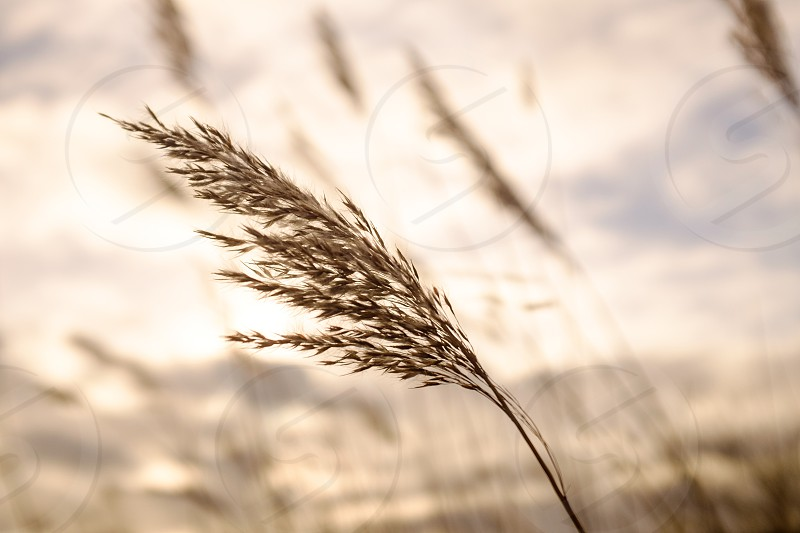 Close up of long seeded grass blowing in the wind in sunshine harvest time photo
