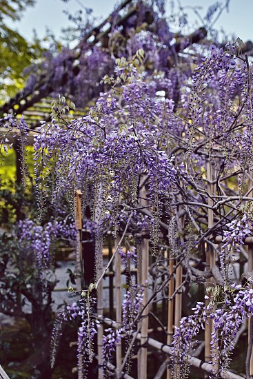 Wisteria flowers hanging down an arbor in Kyoto Japan photo
