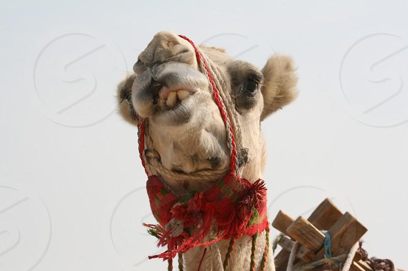 LisAm Camel Animal Mammal Funny Face photo