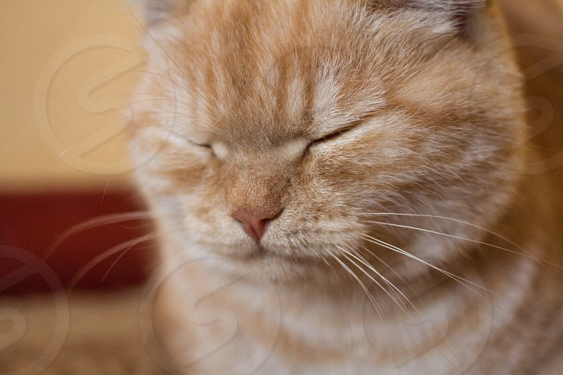 The slumber. Red cat close up. photo