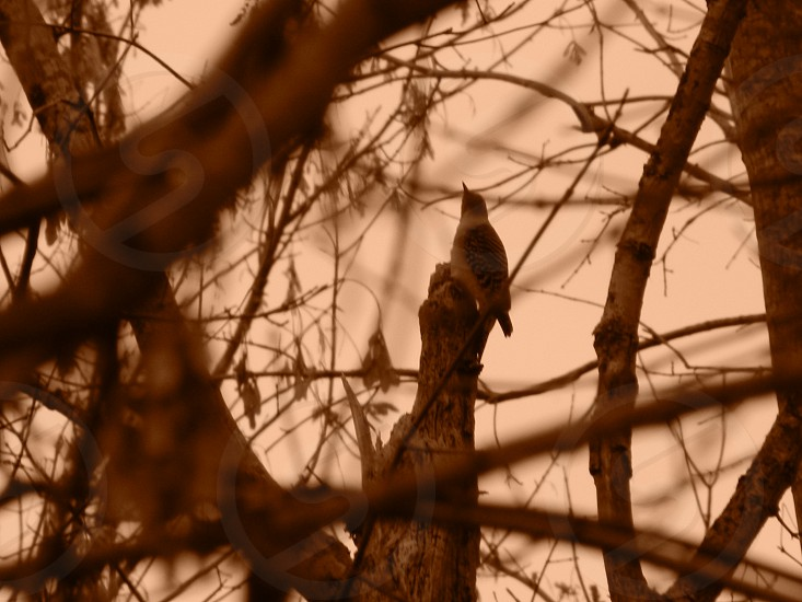 Wood Pecker in the Trees                                photo