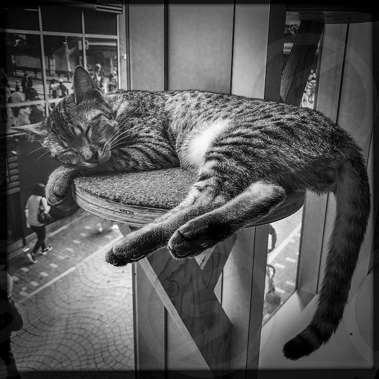 Indoor day black and white monochrome square filter Shibuya Tokyo Japan east eastern Far East far eastern Orient city urban buildings architecture detail travel tourism tourist wanderlust cat Cafe cat kitty feline brown tan fawn stripe striped stripy tabby ears paws cute sweet fluffy Takeshita Street cosy princess pose snooze snoozing sleep sleepy asleep tail pedestal peaceful serene photo
