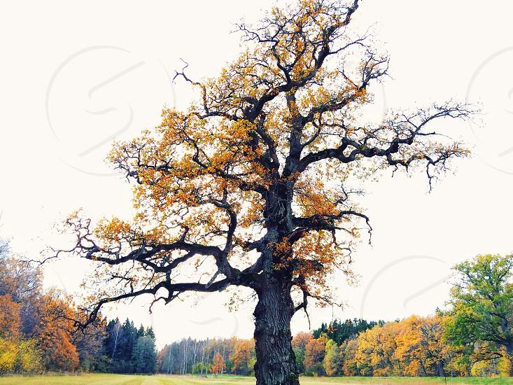 yellow tree photo
