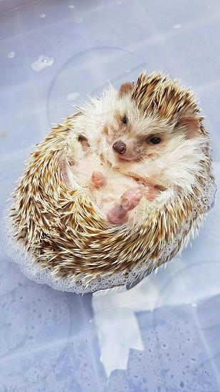 Hedgehog floating while taking a bath photo